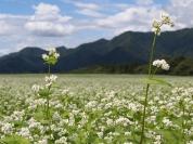 一面に咲く蕎麦の花。南会津は蕎麦の産地でもある(8月撮影)