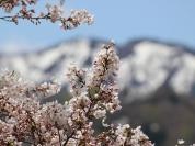 【6】残雪と新緑、桜が重なる春