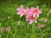 花泉の名の由来でもある「ひめさゆり」の花(6月撮影)